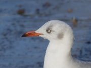 Grey-headed Gull, Simon's Town, South Africa showing head and pale eye ring  © 2006 Steve Ogden