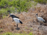 Hadeda Ibis and African Sacred Ibis South Africa 2006 Steve Ogden