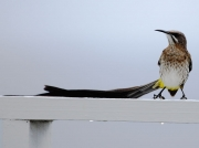 Cape Sugarbird (Promerops cafer) on holiday apartment balcony, South Africa, Cape Peninsular