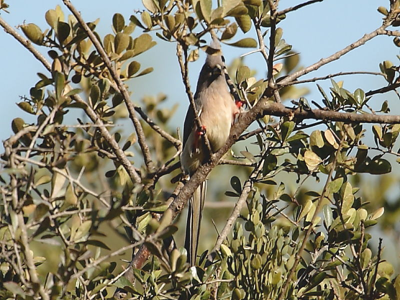 White-backed Mousebird South Africa © 2006 Steve Ogden