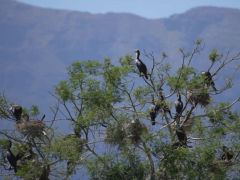 White-breasted Cormorant South Africa © 2006 Steve Ogden