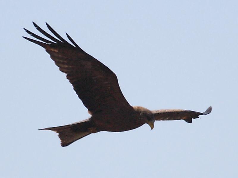 Yellow-billed Kite, the Darling Farmlands, South Africa © 2006 Steve Ogden