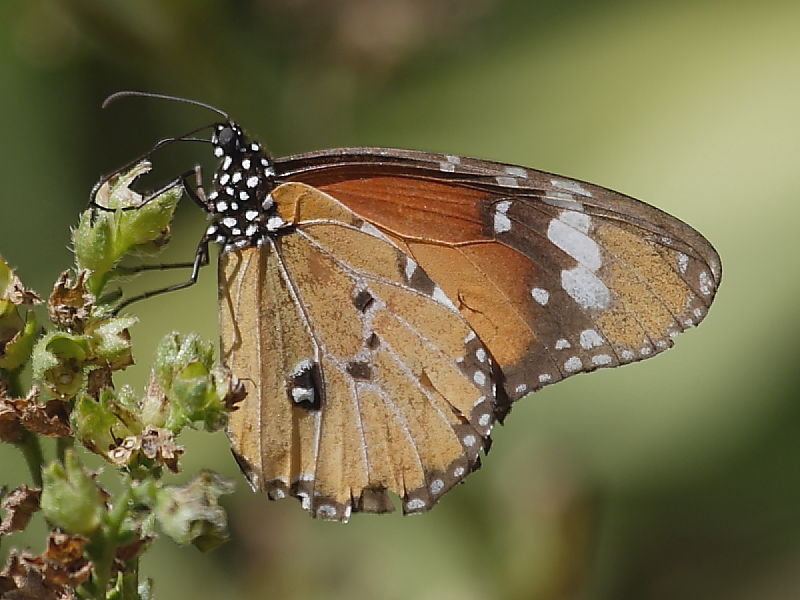 African Monarch butterfly Kirstenbosch © Steve Ogden
