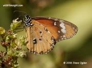 African Monarch Butterfly or Plain Tiger, Danaus chrysippus South Africa © 2006 Steve Ogden
