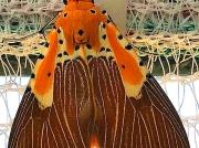 Asota speciosa Moth South Africa reared from caterpillar photo Philip Owen