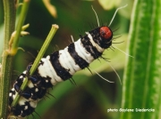 Beautiful Tiger Moth caterpillar Amphicallia bellatrix
