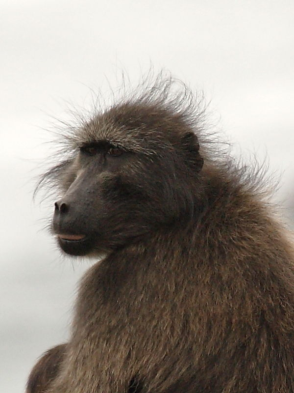 Chacma or Cape Baboon, South Africa © 2014 Steve Ogden