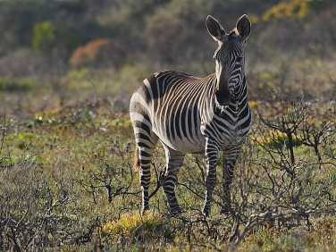 Zebra in the Cape of Good Hope Reserve, South Africa