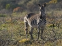 South African mammals
