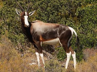 Bontebok (Damaliscus pygargus pygarus) South Africa