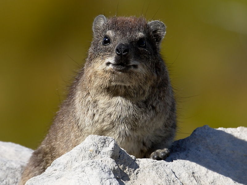Rock Hyrax in the Hottentots Holland mountain range, South Africa © 2006 Steve Ogden