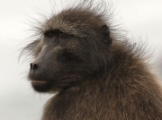 Chacma or Cape Baboon, South Africa © 2006 Steve Ogden