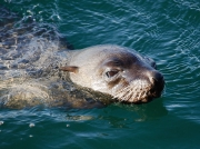 Seal swimming in Simon's Town Harbour, South Africa