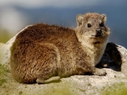 South African Rock Hyrax in the Cape of Good Hope Reserve, South Africa © 2006 Steve Ogden