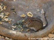 Striped mouse in south African garden © Steve Ogden