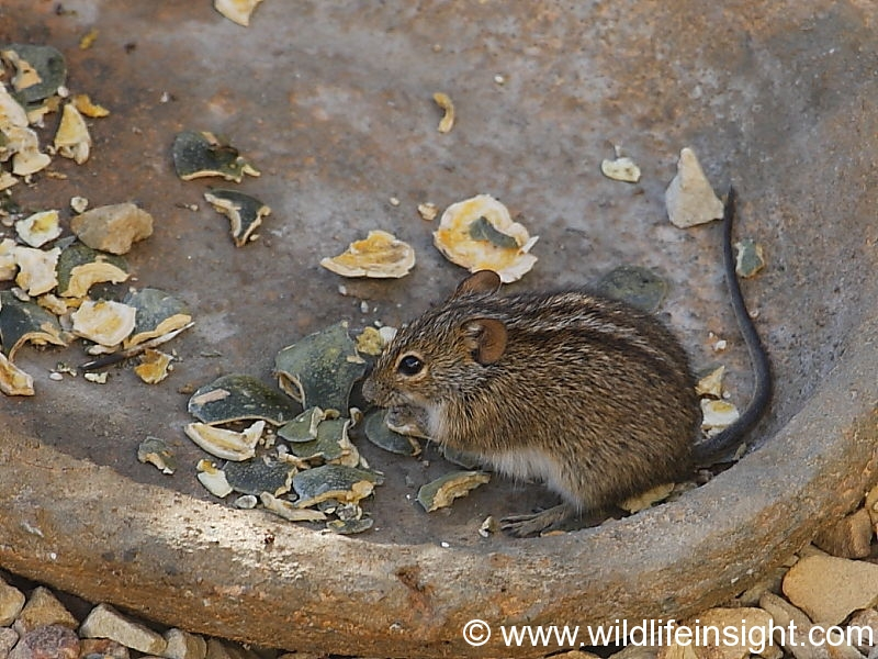 Striped mouse in south African garden © Steve Ogden
