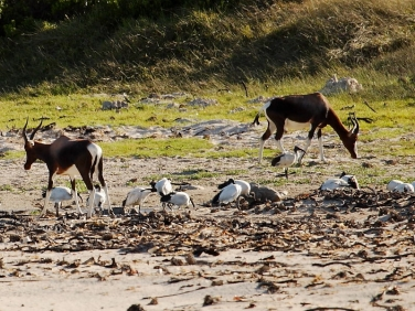 Bontebok and Sacred Ibis feeding on a beach in the Cape of Good Hope Reserve, Cape Peninsular, South Africa