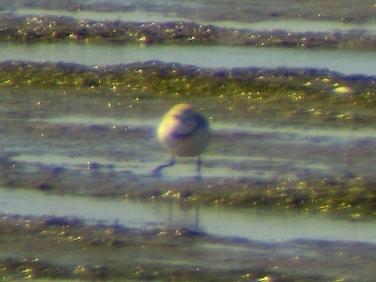 Chestnut-banded Plover (Charadrius pallidus) veiwed at datance from Geelbek Hide, Langebaan Lagoon