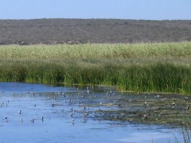 Wading birds gathering during flooding tide at Langebaan Lagoon, West Coast National Park, South Africa © Steve Ogden