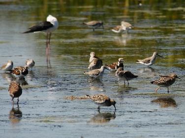 Waders feeding at Langebaan Lagoon, West Coast National Park, South Africa