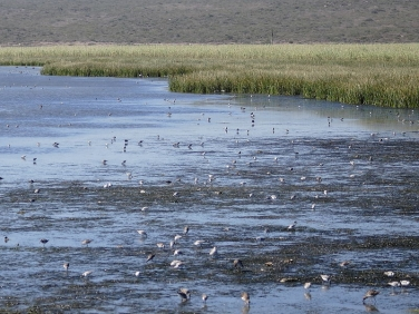 Wading birds gathering during rising tide at Langebaan Lagoon, West Coast National Park, South Africa