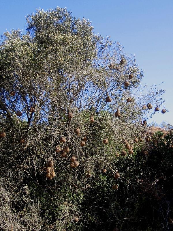 Cape Weaver Bird nests, Darling Farmlands, South Africa © 2006 Claire Ogden
