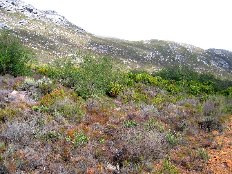 Fynbos on the slopes of the Cape Peninsula Mountain Range, South Africa © Claire Ogden