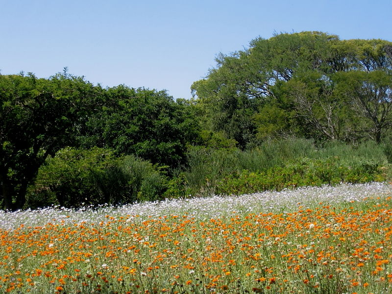 Flower meadows in Kirstenbosch National Botanical Gardens, Cape Town, South Africa © Claire Ogden