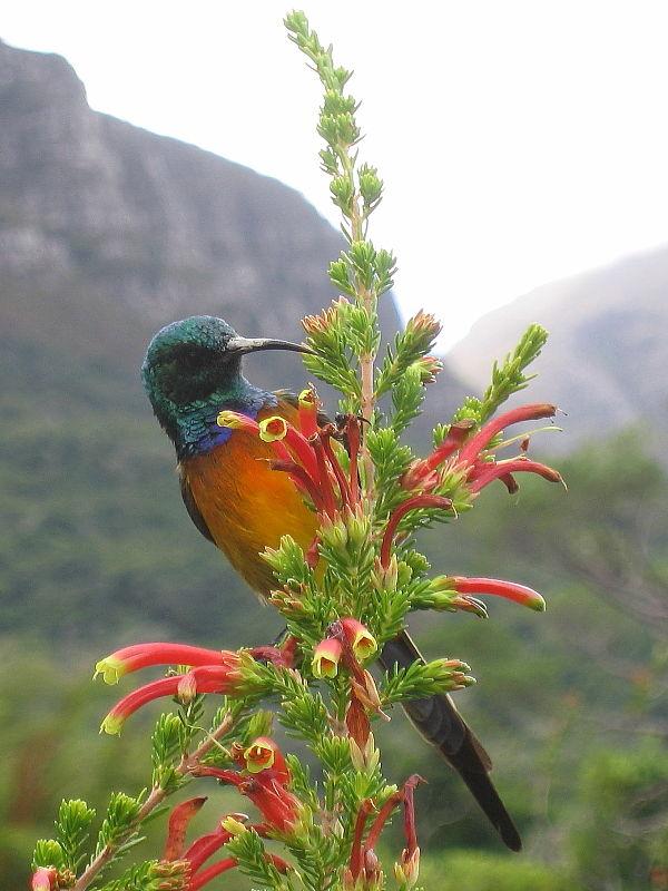 Orange-breasted Sunbird in Kirstenbosch National Botanical Gardens, Cape Town, South Africa © Claire Ogden
