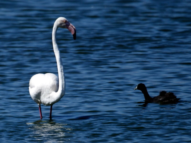 Greater Flamingo and Red-knobbed Coot at Strandfontein, Cape Town, South Africa  © Steve Ogden