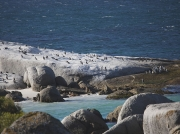 African Penguin Colony, Boulders Beach, Simons Town, Cape Peninsular, South Africa