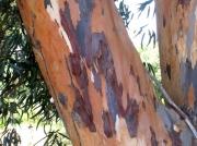 Eucalyptus tree bark - Darling farmlands, South Africa
