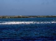 Flocks of Greater Flamingo at Strandfontein, Cape Town, South Africa