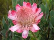 Flowering Protea, Fynbos, Cape Peninsular, South Africa