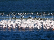 Greater Flamingo at Strandfontein, Cape Town, South Africa