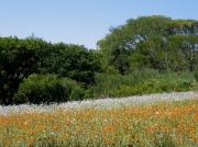 Flower meadows in Kirstenbosch National Botanical Gardens, Cape Town