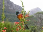 Orange-breasted Sunbird in Kirstenbosch National Botanical Gardens, Cape Town