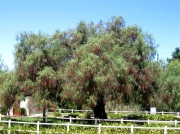 Pepper tree in grounds of Groote Post winery, South Africa