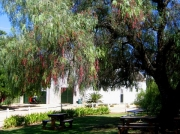 Pepper tree overhanging picnic tables at Groote Post winery, in the Darling Hills, South Africa