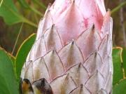 Protea flower head, Cape Peninsular, South Africa