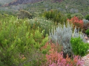 Slopes of Table Mountain, Kirstenbosch National Botanical Gardens, Cape Town, South Africa