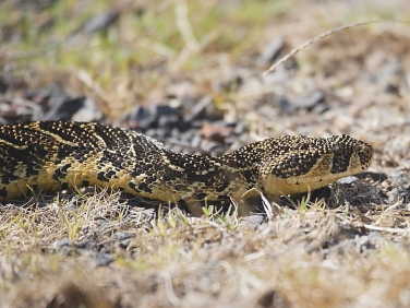 Puff Adder - one of South Africa's deadliest snakes, seen in the Cape of Good Hope Reserve