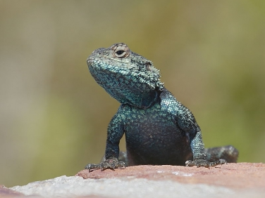 Green Lizard, Cape Point, Cape of Good Hope Reserve, South Africa