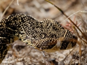 Puff Adder - on the move in the Cape of Good Hope Reserve, South Africa