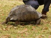 Large South African tortoise  © Steve Ogden