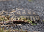 Tortoise - Cape of Good Hope, South Africa