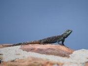 Green Lizard basking on a rock at Cape Point, Cape of Good Hope Reserve, South Africa