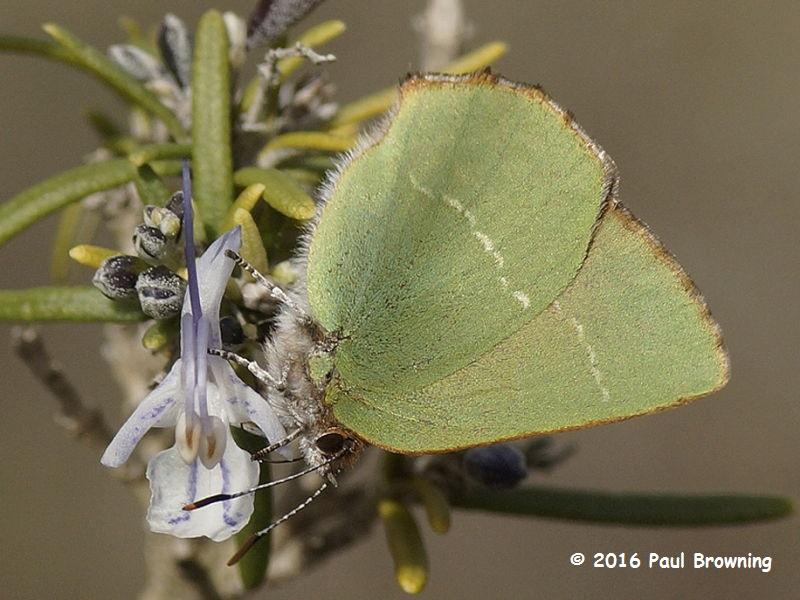 Chapman's Green Hairstreak (Callophrys avis) nectaring on rosemary in Spain photo Paul Browning