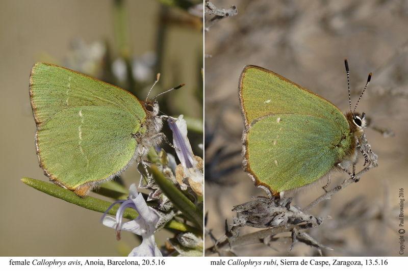 Chapman's Green Hairstreak (Callophrys avis) and Green Hairstreak (Callophrys rubi) photo Paul Browning