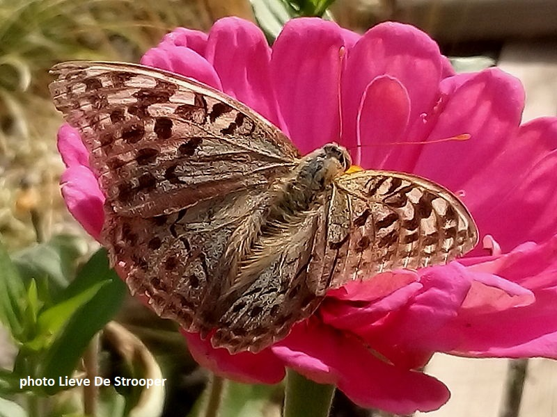 Cardinal Butterfly in Catalonia, Spain one of several butterflies feeding on zenia flowers